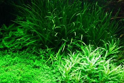 Rastenija dlja akvariuma